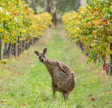 Kangaroos of Barossa barossa valley tour