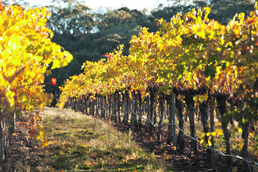 Adelaide Hills wine tour - vines on steep slopes